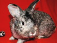 Chinchilla - Luke - Medium - Adult - Male - Rabbit