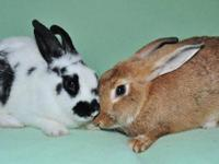 Chinchilla - Penny And Miranda - Medium - Young -