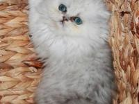 CHINCHILLA PERSIAN MALE KITTEN CFA CHAMPION PARENTS