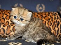 Absolutely Beautiful Chinchilla Persian kitten. She