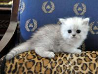 Absolutely Beautiful Silver Shaded Chinchilla Persian