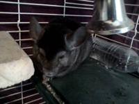 Male Chinchilla, 1 year old. Comes with cage. $45