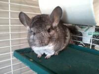 Male Chinchilla, 2-3 years old. Chinchilla's may live