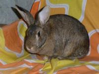 Chinchilla - Randi - Large - Young - Female - Rabbit