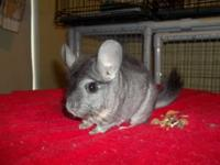 Chinchilla - Sam - Small - Adult - Male - Small &