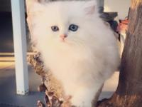 For Sale Chinchilla Shaded Doll Face Persian Kittens
