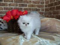 Gorgeous Chinchilla Silver Persian kitten available to