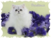 Dazzle is a female silver chinchilla Persian kitten