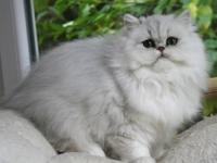 We have avail., Chinchilla Silver Persian kittens