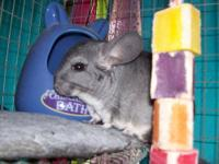 Chinchilla - Zoey - Medium - Adult - Female - Rabbit