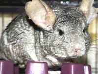 Chinchilla - Elroy - Small - Adult - Male - Small &