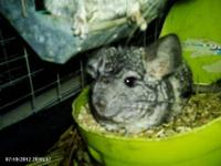 Chinchilla - Fannie - Small - Young - Female - Small &