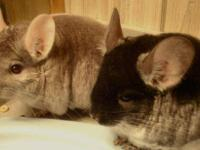 Chinchilla - Pixie & Peanut (blackvelvet & Beige) Best