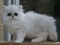 Jasmin is a Chinchilla Silver Persian.  SHe LOVES to