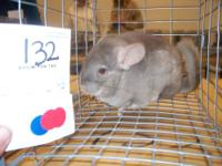 Well established breeder with many chinchillas