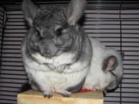 Rescue chinchillas looking for forever pet-only