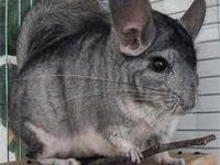 I have 4 chinchillas that are looking for a special