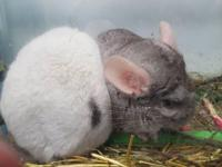 We have two female Chinchillas, very nice, They are