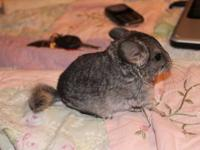 I am a small breeder of quality chinchillas in SW Pa.