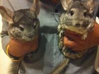 We are the largest chinchilla breeder in Florida, and
