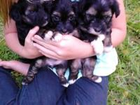 Adorable, two months old Powder Puffs, father AKC,