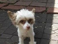 Chinese Crested Dog - Betsy - Small - Young - Female -