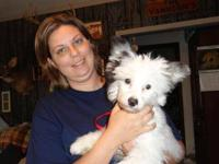 Chinese Crested Dog - Jasper - Small - Baby - Male -
