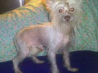 Chinese Crested Dog - Luewie $499 Ckc Hairless - Small