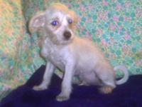 Chinese Crested Dog - Trip $555 8wks Ckc - Small - Baby