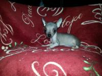 Beautiful Hairless Chinese Crested Puppy's, Won't Weigh