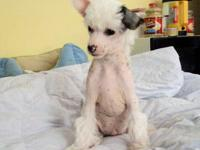 This beautiful hairless boy is ready for his forever