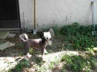 Beautiful AKC male Chinese Cresteds 5 years old,