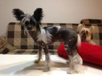 Lovely HHl chinese crested lady for sale. This woman