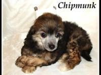 Chipmunk - powderpuff lady - $150 animal rate ($250 if