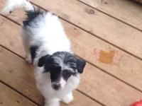 AKC Chinese Crested puppies,one white n black Powder