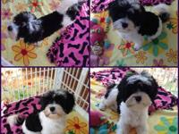 Vanator Kennels has available one powderpuff male, two