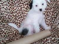 7 week old male Chinese crested puppy for adoption.