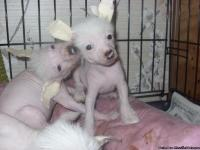 Chinese Crested, a tru tru hairless AKC regisistration