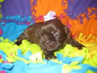Ivy is a gorgeous little chocolate/liver female Shih