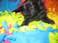 Lila is a gorgeous little solid black Shih Tzu Puppy.