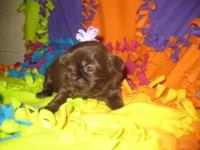 Pippi is a gorgeous little chocolate/liver female Shih