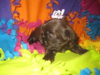 Rose is a gorgeous little chocolate/liver female Shih