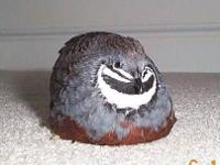 I have 2x Male Chinese Painted Button Quails for sale.