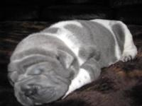AKC full reg. Sharpei puppies Blue, Bloom Blue & &