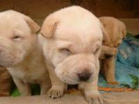 We have 7 Shar Pei puppies looking for forever indoor