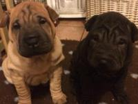 Chinese Shar-Pei puppies. Birthdate 10-05-2015 they