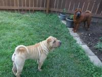 Mamma Lulu has had 6 infant shar-pei born July 20 2014.