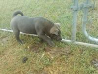 I have2 sharpei.I have a male n female.they r blue