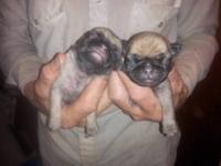 I HAVE 2 FEMALES AT $400 EA. 1 MALE AT $350 PUG