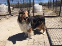 CHINOOK CAME IN WITH BISCUIT WHO IS ALSO A SHELTIE AND